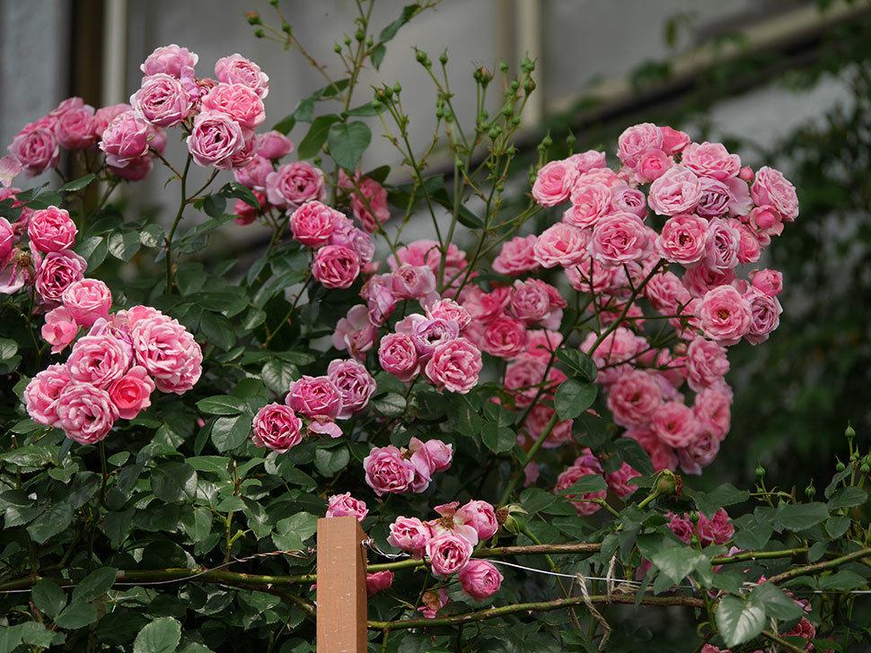 ポンポネッラ(半ツルバラ)の花が満開になった。2019年-11.jpg