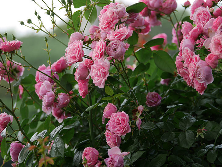 ポンポネッラ(半ツルバラ)の花が満開になった。2019年-12.jpg
