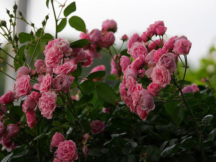 ポンポネッラ(半ツルバラ)の花が満開になった。2019年-14.jpg