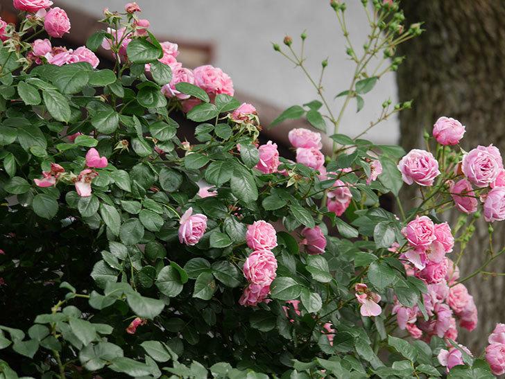 ポンポネッラ(半ツルバラ)の花が満開になった。2019年-2.jpg