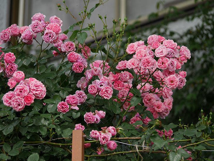 ポンポネッラ(半ツルバラ)の花が満開になった。2019年-3.jpg