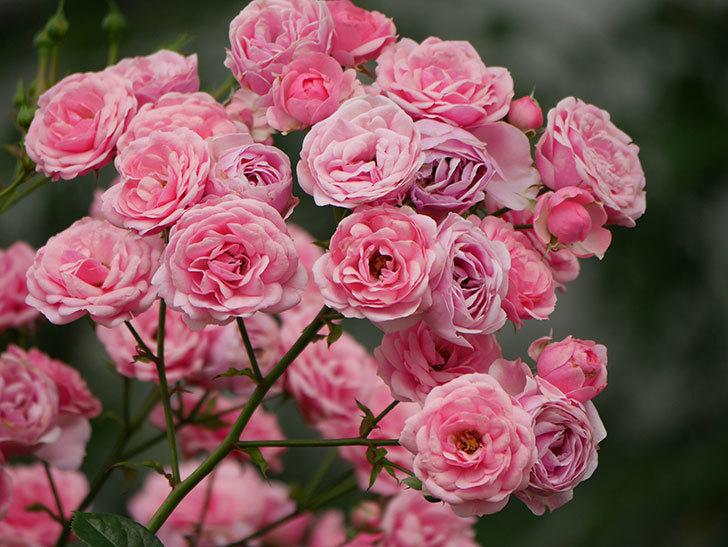 ポンポネッラ(半ツルバラ)の花が満開になった。2019年-4.jpg