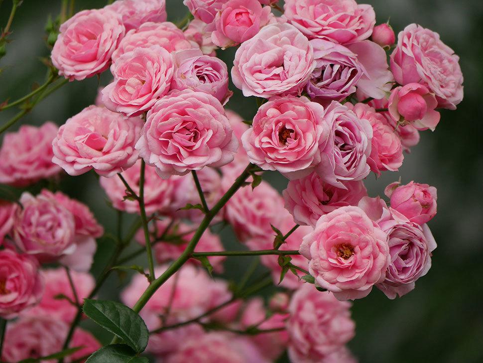 ポンポネッラ(半ツルバラ)の花が満開になった。2019年-5.jpg