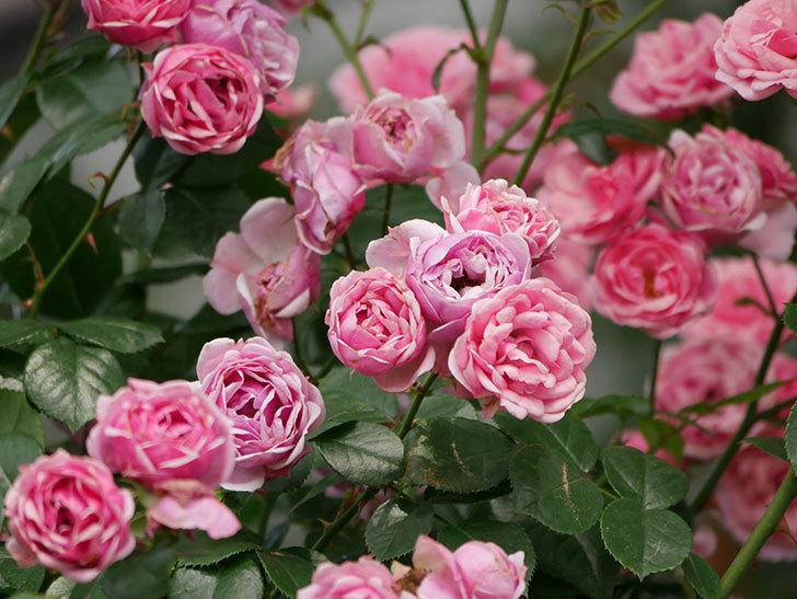 ポンポネッラ(半ツルバラ)の花が満開になった。2019年-6.jpg