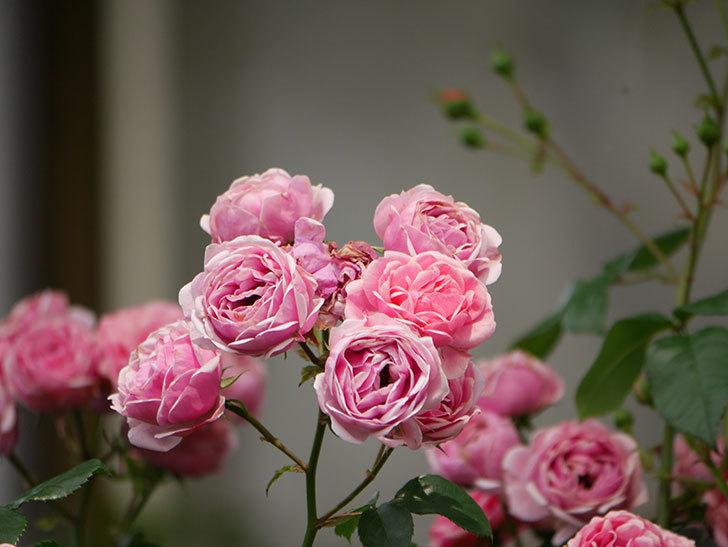 ポンポネッラ(半ツルバラ)の花が満開になった。2019年-8.jpg
