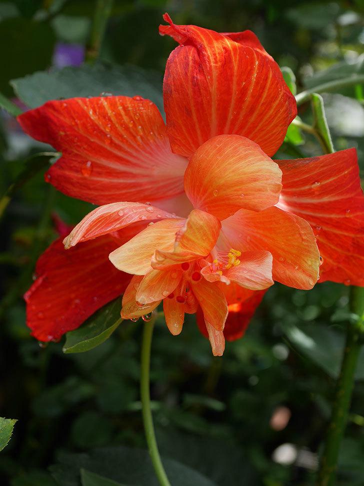マダムペレの今季最初の花が咲いた。2020年-004.jpg