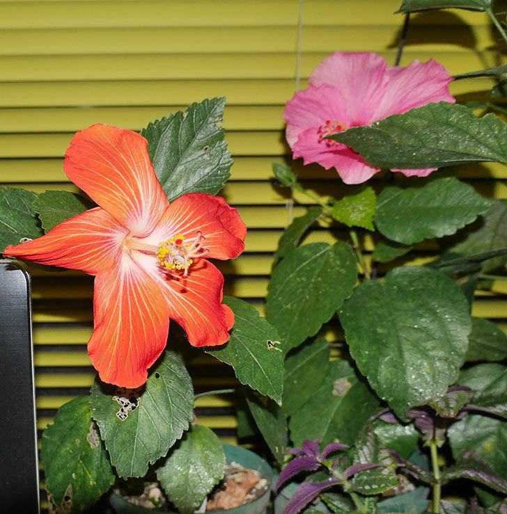 マダムペレの花が1個咲いた。2020年-2.jpg