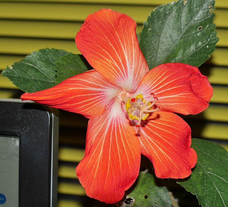 マダムペレの花が1個咲いた。2020年-3.jpg