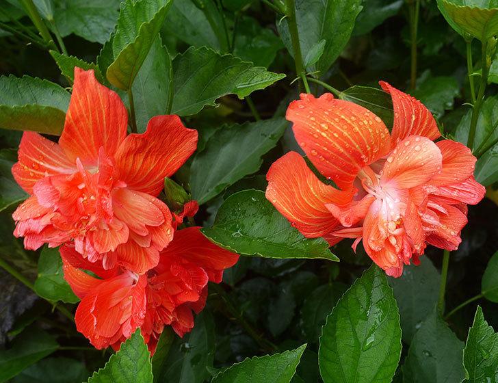 マダムペレの花が3個咲いた。2017年-2.jpg