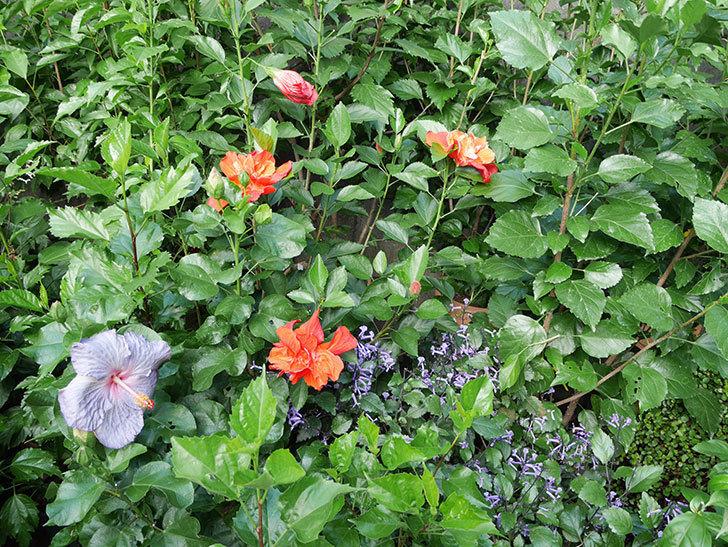 マダムペレの花がたくさん咲いた。2017年-9.jpg