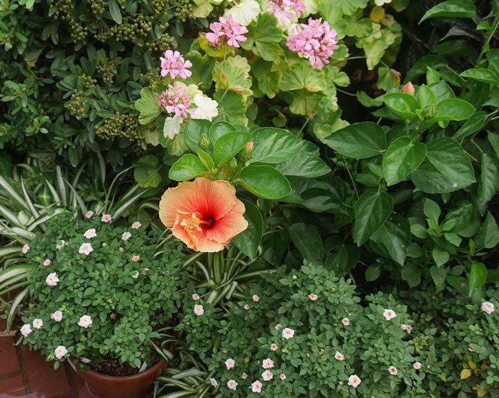 マダムペレの花が咲いた。2019年-11.jpg