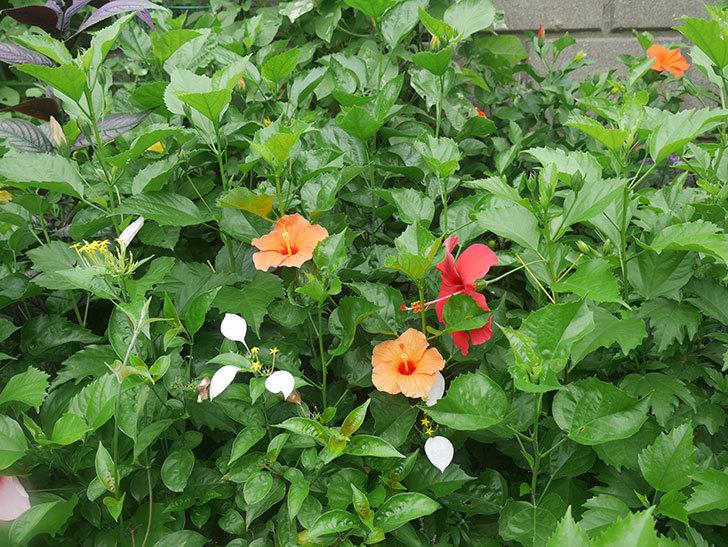 マダムペレの花が咲いた。2019年-7.jpg
