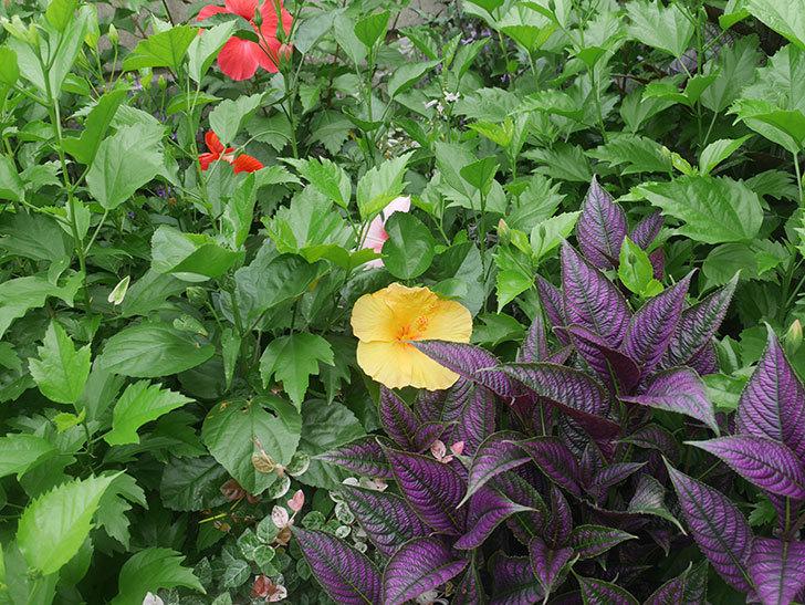 マダムペレの花が咲いた。2019年-9.jpg