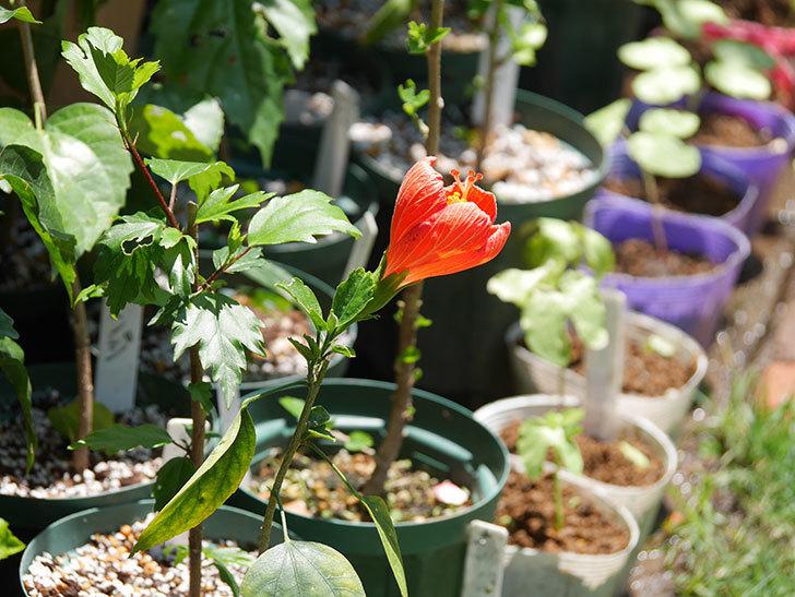 マダムペレの花が咲いた。2021年-001.jpg