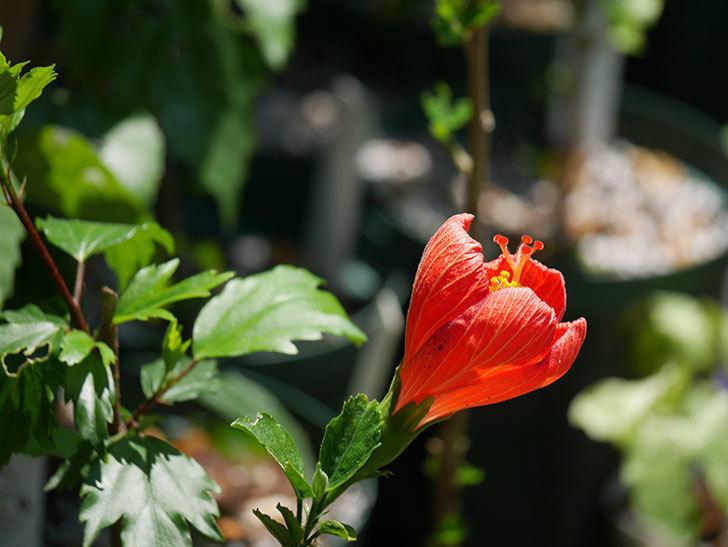 マダムペレの花が咲いた。2021年-003.jpg