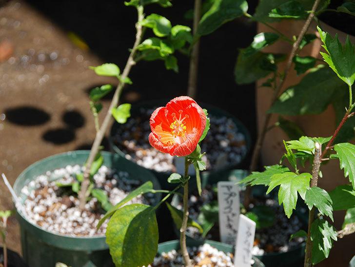 マダムペレの花が咲いた。2021年-004.jpg