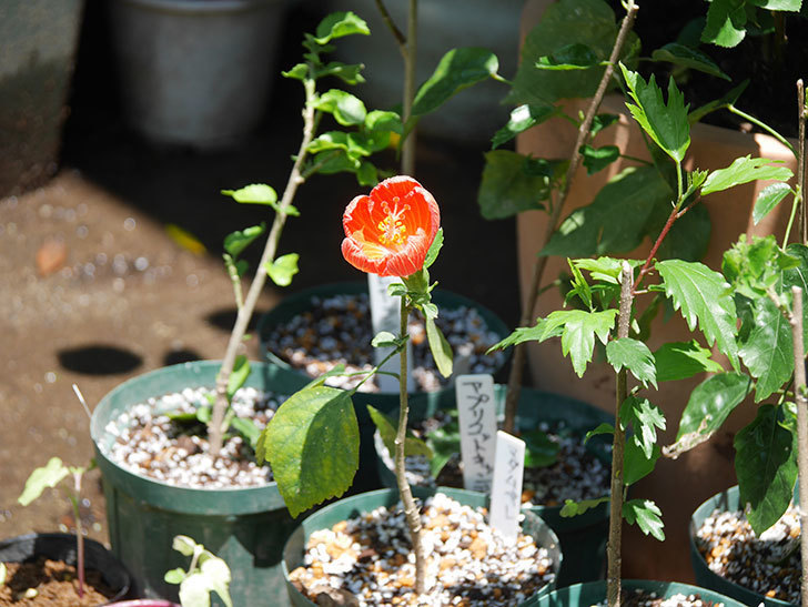 マダムペレの花が咲いた。2021年-005.jpg