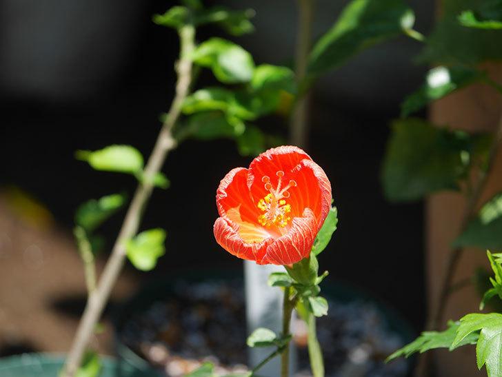 マダムペレの花が咲いた。2021年-006.jpg