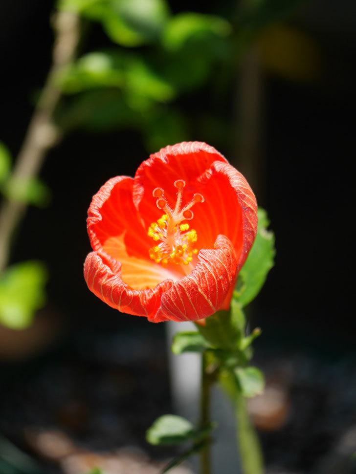 マダムペレの花が咲いた。2021年-008.jpg