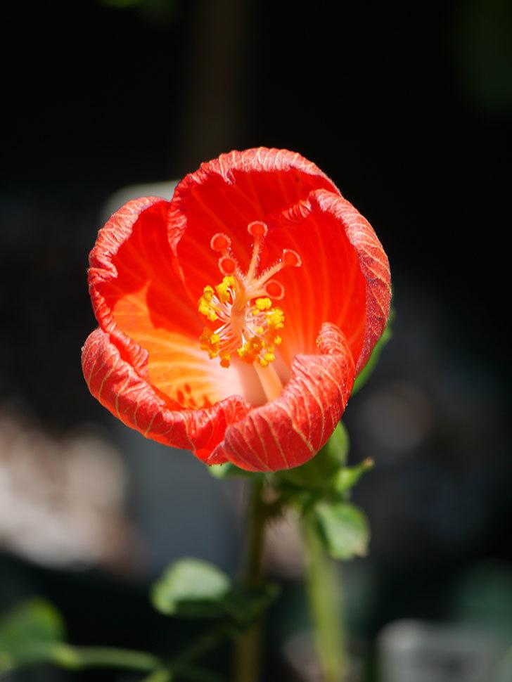 マダムペレの花が咲いた。2021年-011.jpg