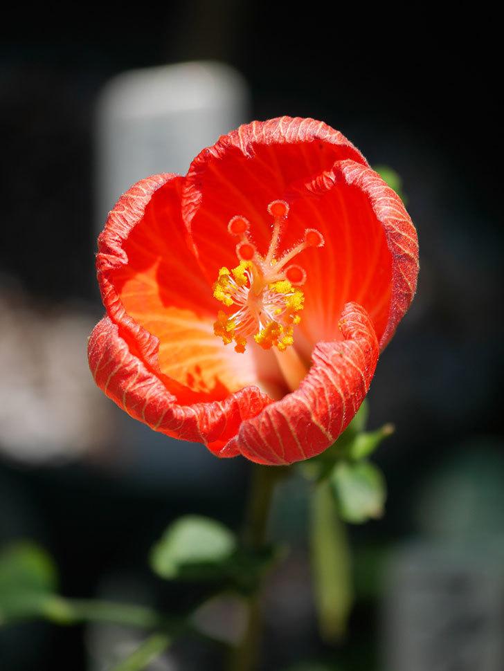 マダムペレの花が咲いた。2021年-013.jpg