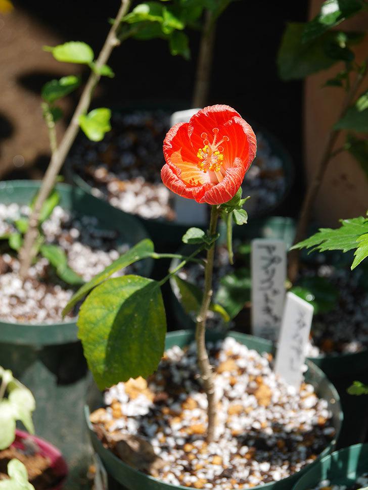 マダムペレの花が咲いた。2021年-014.jpg