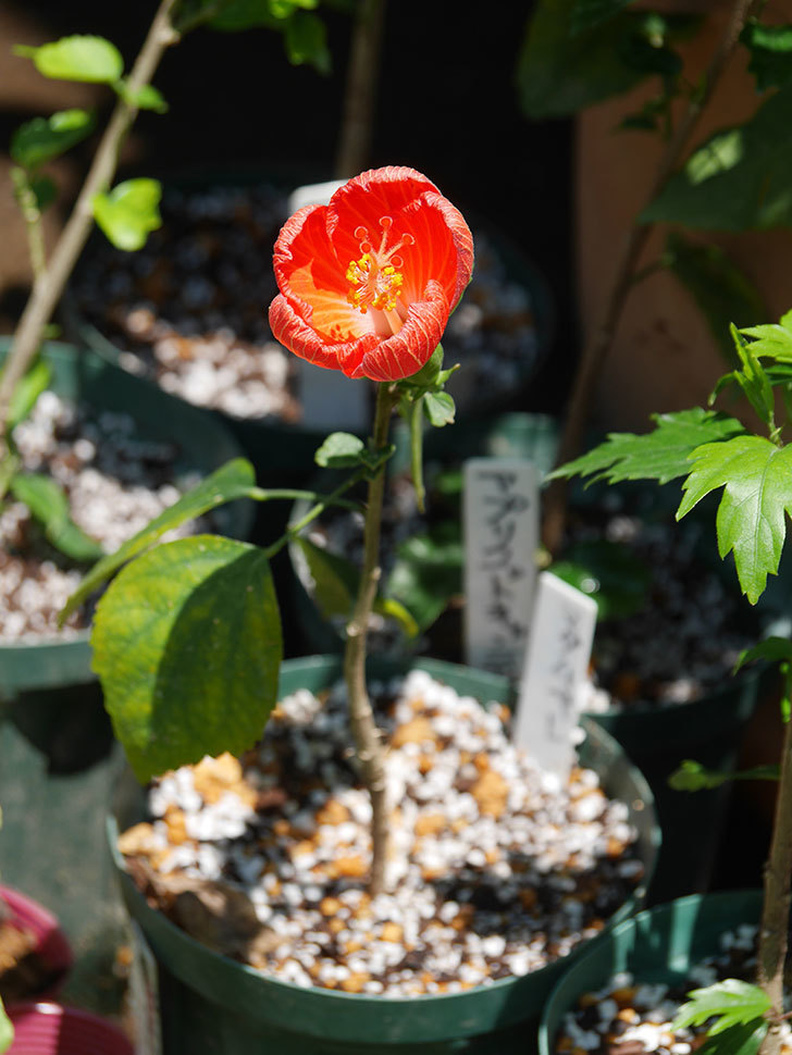 マダムペレの花が咲いた。2021年-015.jpg