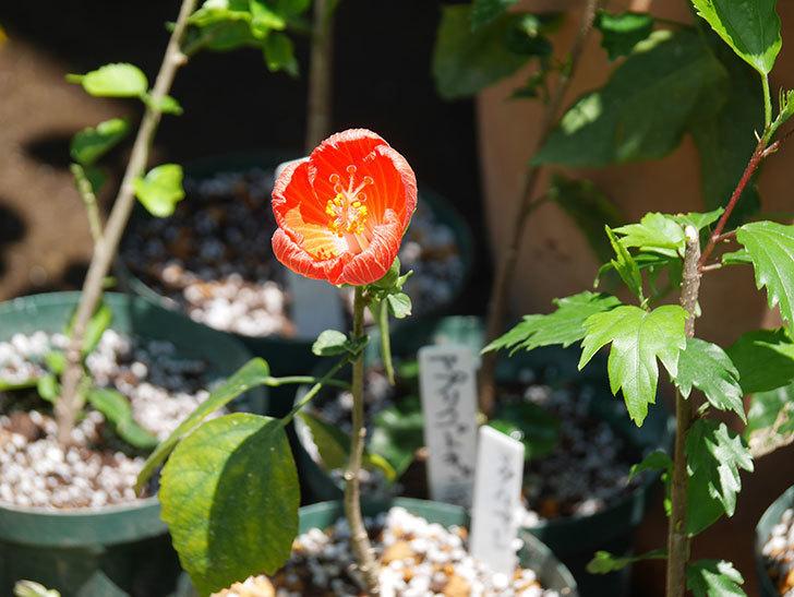 マダムペレの花が咲いた。2021年-016.jpg