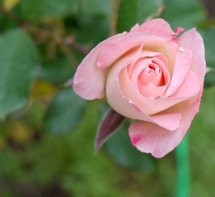 マチルダ(木立バラ)に今年最後の花が咲いた。2016年-1.jpg