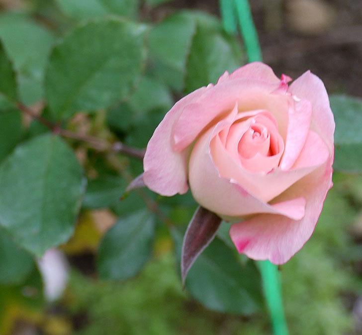 マチルダ(木立バラ)に今年最後の花が咲いた。2016年-2.jpg
