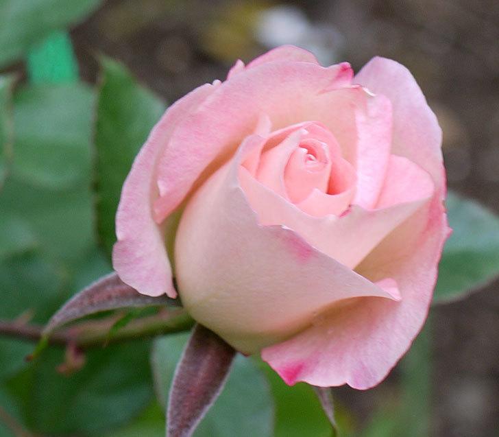 マチルダ(木立バラ)に今年最後の花が咲いた。2016年-4.jpg