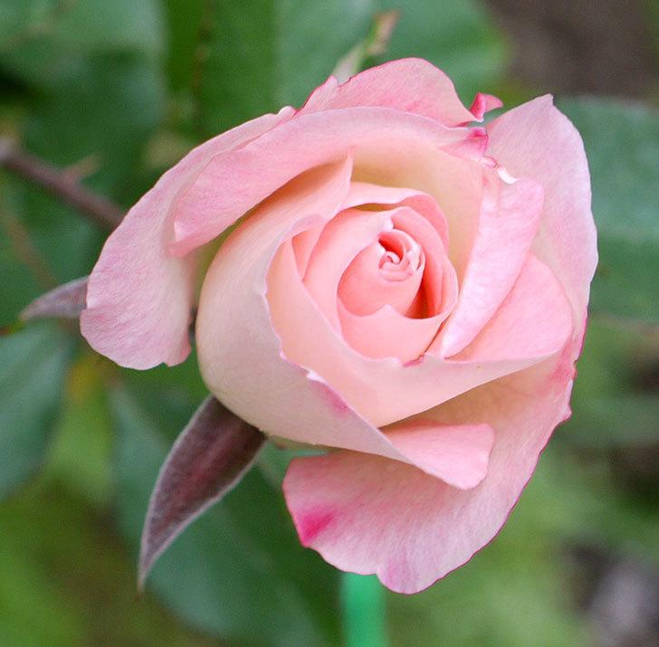マチルダ(木立バラ)に今年最後の花が咲いた。2016年-5.jpg