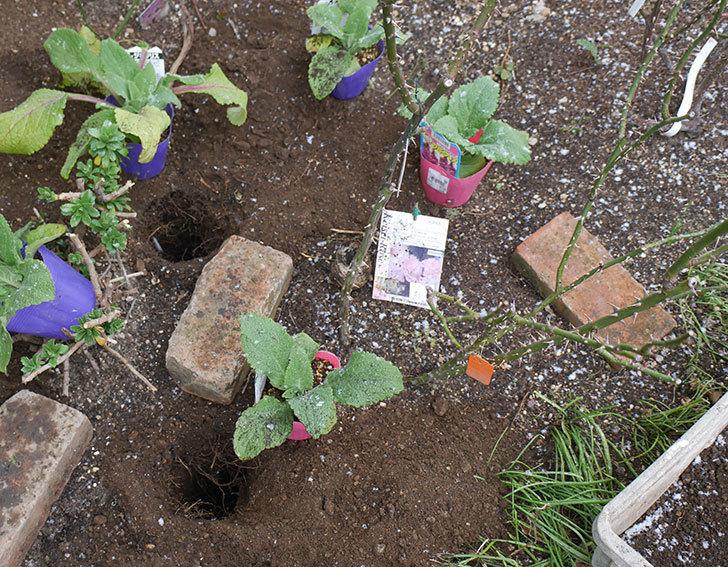 マチルダ(木立バラ)に寒肥を施した。2019年-1.jpg