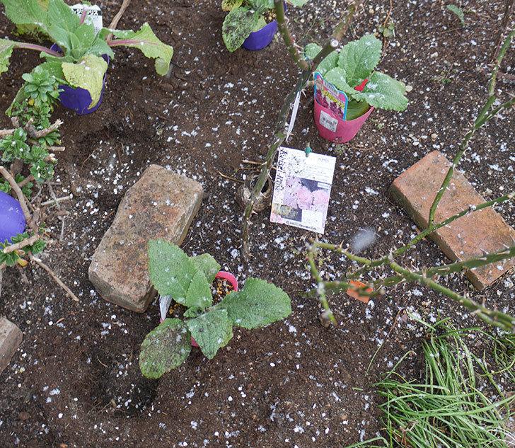 マチルダ(木立バラ)に寒肥を施した。2019年-2.jpg