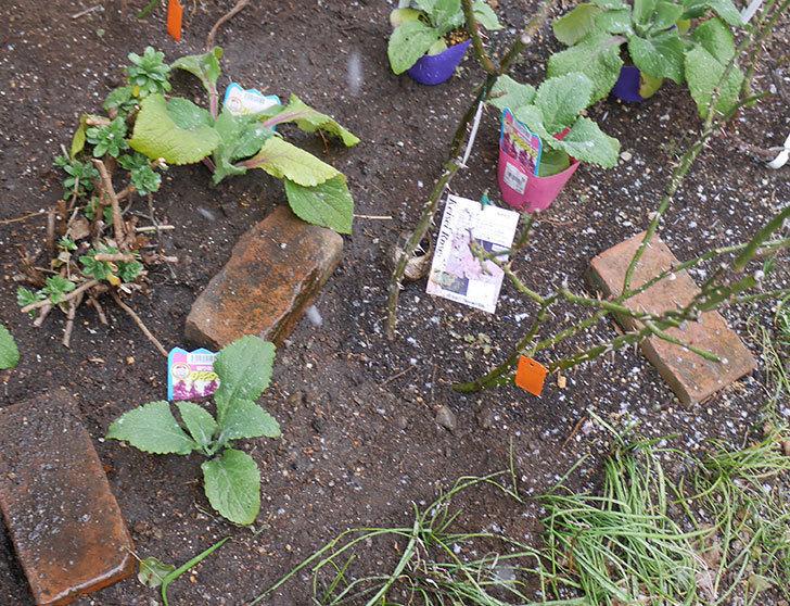 マチルダ(木立バラ)に寒肥を施した。2019年-3.jpg