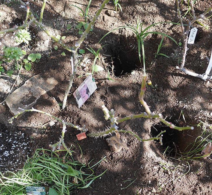 マチルダ(木立バラ)に寒肥を施した。2020年-1.jpg