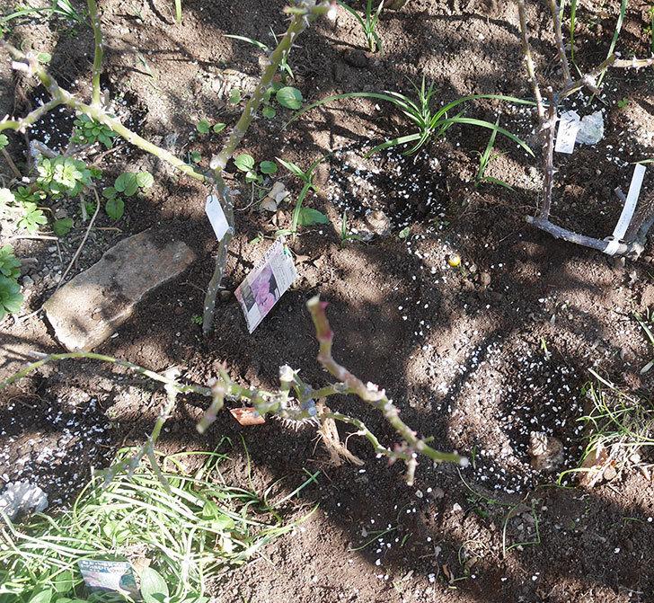 マチルダ(木立バラ)に寒肥を施した。2020年-2.jpg