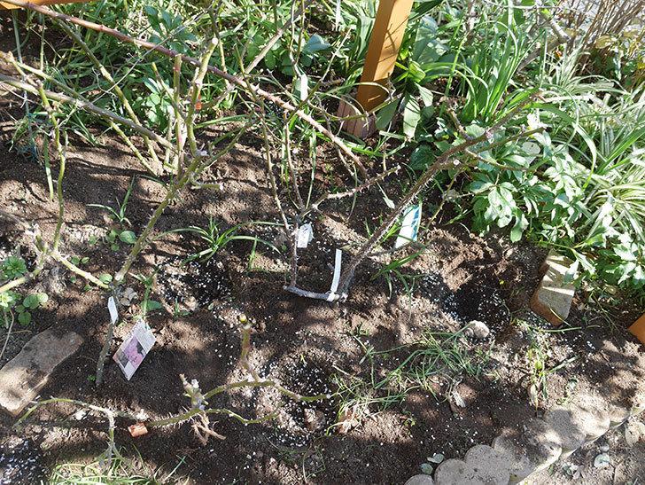 マチルダ(木立バラ)に寒肥を施した。2020年-3.jpg