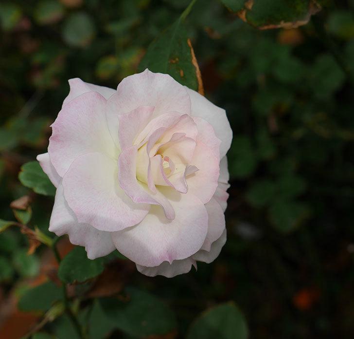 マチルダ(木立バラ)に白っぽい秋花が咲いた。2018年-1.jpg