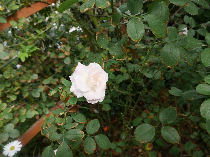 マチルダ(木立バラ)に白っぽい秋花が咲いた。2018年-2.jpg