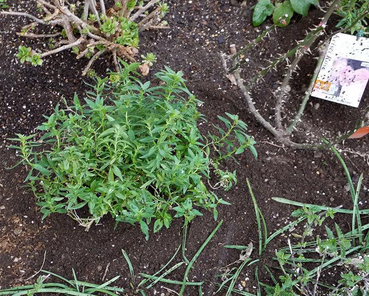 マチルダ(木立バラ)に穴を掘って寒肥をやった。2017年-4.jpg
