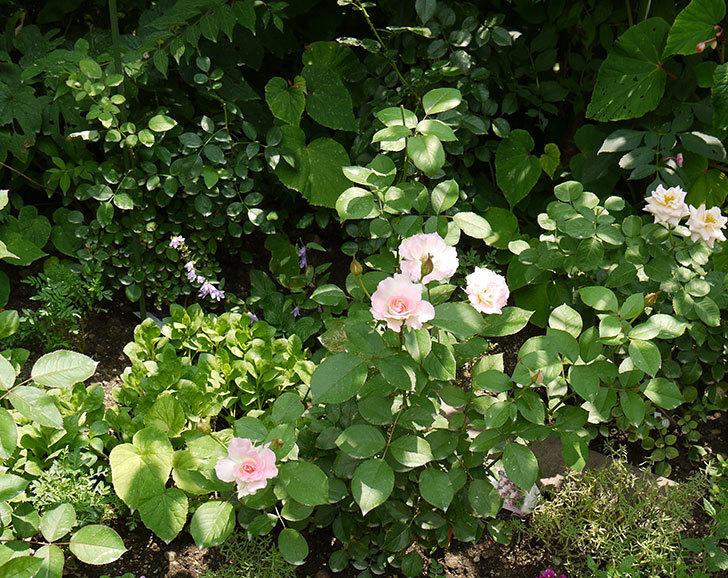 マチルダ(木立バラ)の2番花が4個咲いた。2016年-10.jpg