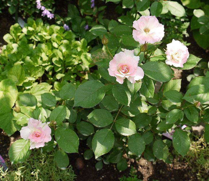 マチルダ(木立バラ)の2番花が4個咲いた。2016年-2.jpg