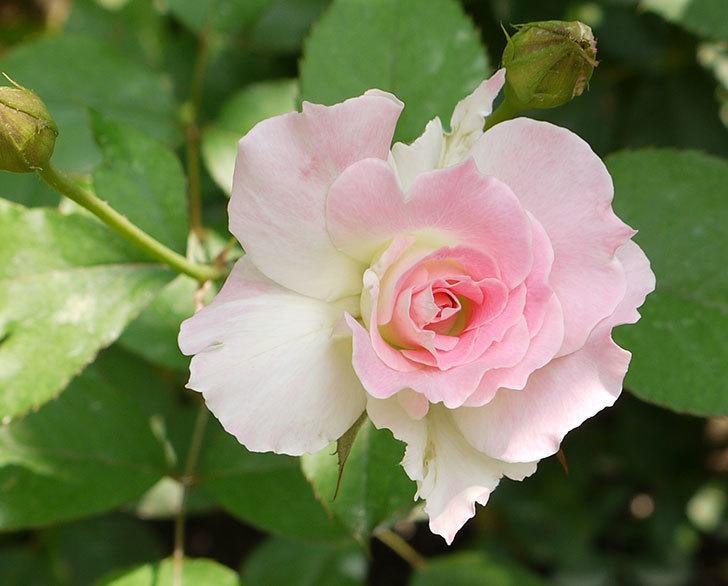 マチルダ(木立バラ)の2番花が4個咲いた。2016年-3.jpg