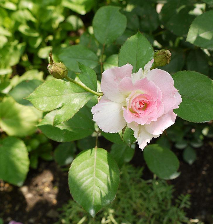 マチルダ(木立バラ)の2番花が4個咲いた。2016年-4.jpg