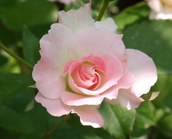 マチルダ(木立バラ)の2番花が4個咲いた。2016年-5.jpg