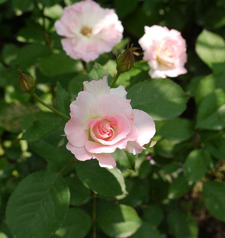 マチルダ(木立バラ)の2番花が4個咲いた。2016年-6.jpg