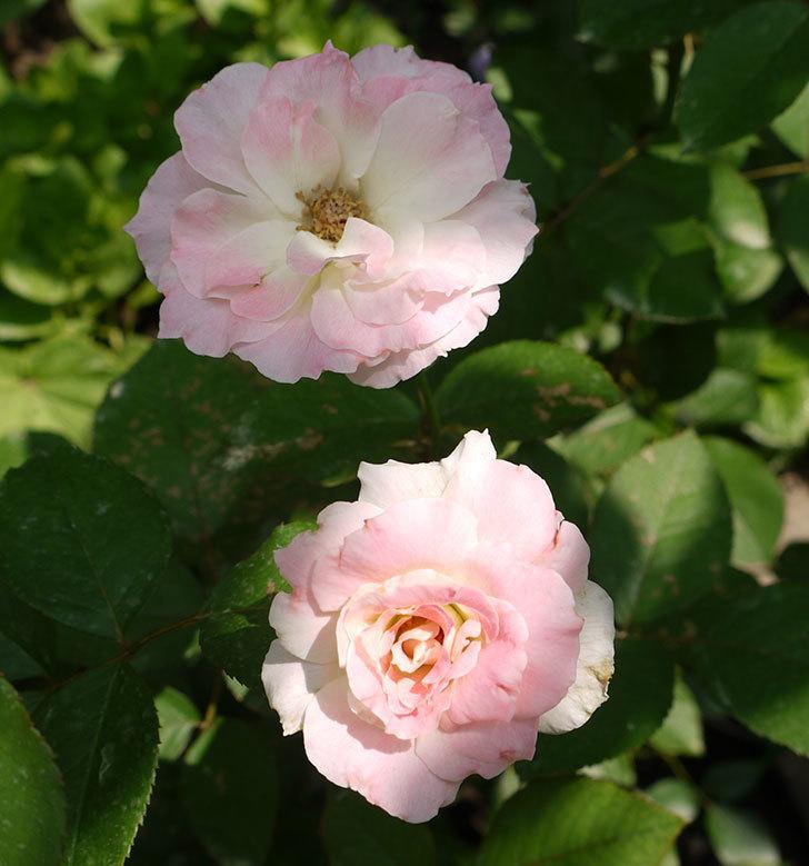 マチルダ(木立バラ)の2番花が4個咲いた。2016年-7.jpg