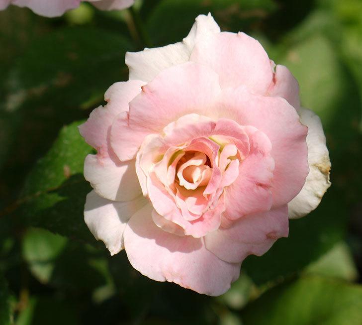 マチルダ(木立バラ)の2番花が4個咲いた。2016年-8.jpg