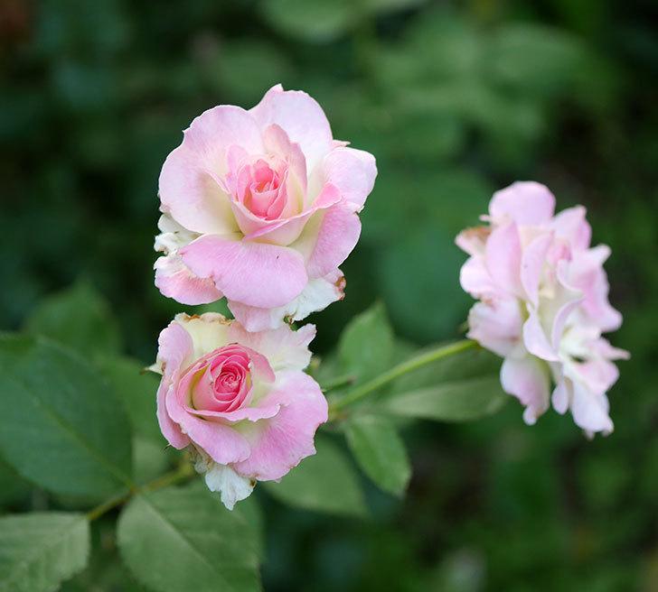 マチルダ(木立バラ)の2番花が咲いた。2018年-1.jpg